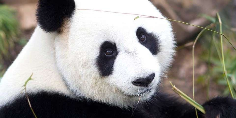 giant-panda1-960x480