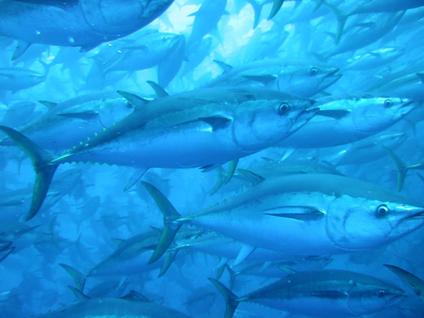tuna-tow